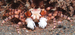 decorator_crab_diving_candidasa_tauchen_tauchschule_tauchbasis_divingde_dive_centre_dive_course_bali_indonesia_indonesien.png