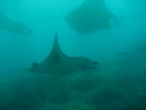 manta_rays_diving_candidasa_tauchen_tauchschule_tauchbasis_divingde_dive_centre_dive_course_bali_indonesia_indonesien.jpg